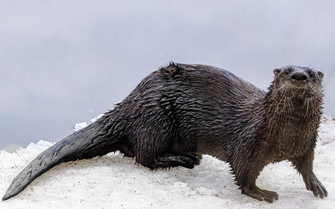 Otter Animal Totem